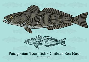 Photo of Chilean Sea Bass Patagoniani Toothfish